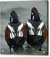 Harlequin Ducks Acrylic Print