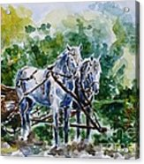 Harnessed Horses Acrylic Print