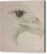 Harpy Eagle Study Acrylic Print by K Simmons Luna