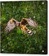 Harrier Hunt Acrylic Print