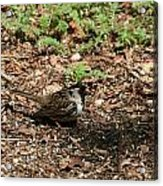 Harris Sparrow Collecting Seeds Acrylic Print