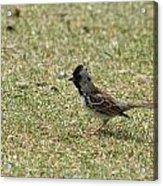 Harris Sparrow On Grass Acrylic Print