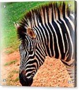 Hartman Zebra Acrylic Print