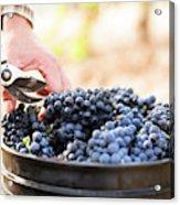 Harvest At Vineyard In Santa Cruz Acrylic Print