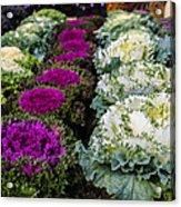 Harvest Cabbage Acrylic Print