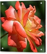 Harvest Rose Acrylic Print
