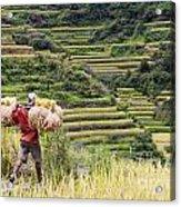 Harvest Season In Rice Field Acrylic Print