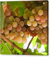Harvest Time. Sunny Grapes II Acrylic Print by Jenny Rainbow