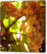 Harvest Time. Sunny Grapes IIi Acrylic Print