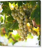 Harvest Time. Sunny Grapes Iv Acrylic Print