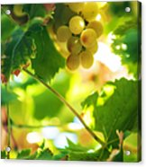 Harvest Time. Sunny Grapes Vii Acrylic Print