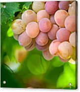 Harvest Time. Sunny Grapes Viii Acrylic Print