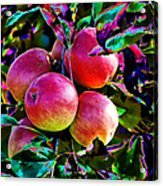 Harvesting Apples Acrylic Print