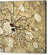 Harvestman Spider Acrylic Print