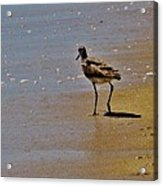 Hatteras Island Bird 8/24 Acrylic Print