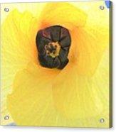 Hau Blossom Acrylic Print