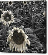 Haunting Sunflower Fields 2 Acrylic Print by Dave Dilli