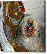 Havanese Dog Acrylic Print