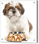 Havanese With Dog Bowl Acrylic Print