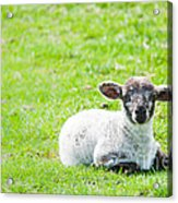 Have You Any Wool Acrylic Print