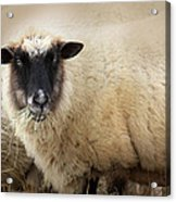 Have You Any Wool? Acrylic Print