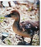 Lost Baby Duckling Acrylic Print