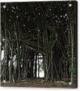 Hawaiian Banyan Tree - Hilo City Acrylic Print