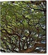 Hawaiian Banyan Tree Acrylic Print