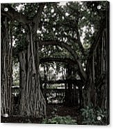 Hawaiian Banyan Trees Acrylic Print by Daniel Hagerman