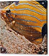 Hawaiian Butterfly Fish Acrylic Print