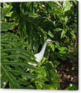 Hawaiian Garden Visitor - A Bright White Egret In The Lush Greenery Acrylic Print