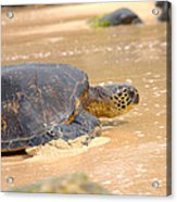 Hawaiian Green Sea Turtle 2 Acrylic Print