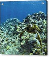 Hawaiian Green Sea Turtle Acrylic Print