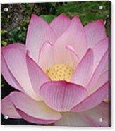 Hawaiian Lotus Acrylic Print