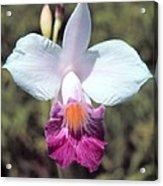 Hawaiian Orchid Acrylic Print