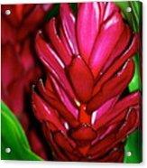 Hawaiian Red Torch Ginger Acrylic Print