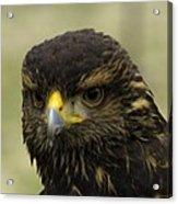 Hawk 1 Acrylic Print