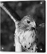 Hawk Attack Black And White Acrylic Print