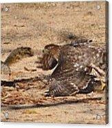 Hawk Attack Acrylic Print