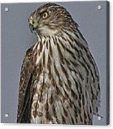 Hawk Beauty On The Lookout Acrylic Print