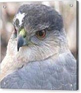 Hawk Eye 13528-3 Acrylic Print