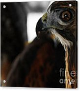 Hawk Eye Acrylic Print by Steven  Digman