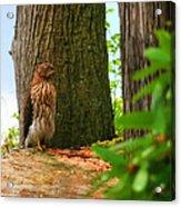 Hawk Eyes Acrylic Print