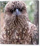 Brown Hawk Face Profile Acrylic Print