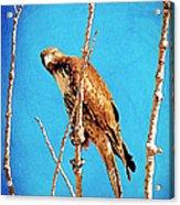 Hawk In A Glow Acrylic Print
