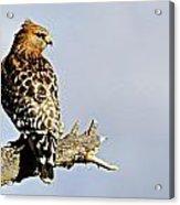 Hawk Looking Back Acrylic Print
