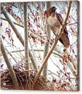 Hawk Nesting IIi Acrylic Print