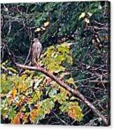 Hawk On A Limb Acrylic Print