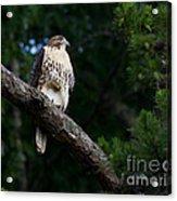 Hawk On Norris Lake Acrylic Print