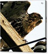 Hawk On Telephone Pole Acrylic Print